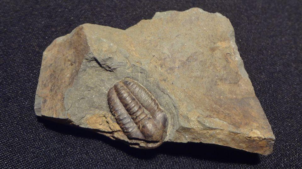 Trilobit Jince